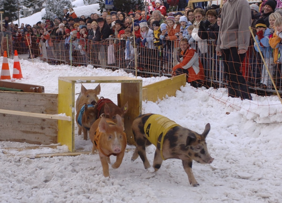 Klosters Pig Race